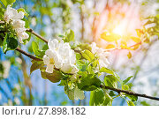 Купить «Spring apple tree with white flowers in blossom on the background of blue sky», фото № 27898182, снято 4 июня 2017 г. (c) Зезелина Марина / Фотобанк Лори