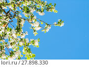 Купить «Blooming apple tree on the background of blue sky - spring floral background», фото № 27898330, снято 4 июня 2017 г. (c) Зезелина Марина / Фотобанк Лори