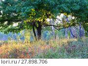 Рассвет в лесу. Дуб на фоне березового леса в утренних лучах солнца. Dawn in the forest. Oak on a background of birch forest in the morning sun. Стоковое фото, фотограф Светлана Евграфова / Фотобанк Лори