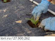Купить «Gurken werden auf eingepflanzt», фото № 27900262, снято 23 марта 2019 г. (c) PantherMedia / Фотобанк Лори