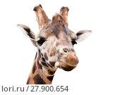 Купить «young cute giraffe», фото № 27900654, снято 26 мая 2019 г. (c) PantherMedia / Фотобанк Лори
