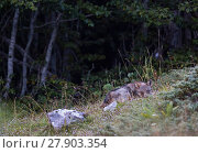Купить «Wild Apennine wolf (Canis lupus italicus) pup resting in a forest meadow in summer. Central Apennines, Abruzzo, Italy. September. Italian endemic subspecies.», фото № 27903354, снято 3 июня 2020 г. (c) Nature Picture Library / Фотобанк Лори
