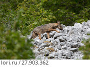 Купить «Wild Apennine wolf (Canis lupus italicus) pup at forest edge in summer. Central Apennines, Abruzzo, Italy. September. Italian endemic subspecies.», фото № 27903362, снято 3 июня 2020 г. (c) Nature Picture Library / Фотобанк Лори