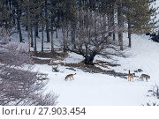 Купить «Wild Apennine wolf (Canis lupus italicus) adults patrolling mountain territory .Central Apennines, Abruzzo, Italy. March.  Italian endemic subspecies.», фото № 27903454, снято 16 июля 2018 г. (c) Nature Picture Library / Фотобанк Лори