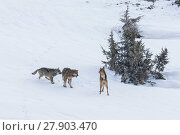 Купить «Wild Apennine wolf (Canis lupus italicus), two resident wolves attack intruder in their territory. Central Apennines, Abruzzo, Italy. March. Italian endemic subspecies. Sequence 3 of 16», фото № 27903470, снято 16 июля 2018 г. (c) Nature Picture Library / Фотобанк Лори