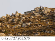 Купить «Wild Apennine wolves (Canis lupus italicus) peering from behind rocks on a hilltop in autumn. Central Apennines, Abruzzo, Italy. November. Italy endemic subspecies.», фото № 27903570, снято 3 июня 2020 г. (c) Nature Picture Library / Фотобанк Лори