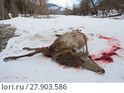 Купить «Remains of Red deer (Cervus elaphus) stag killed by Apennine wolves (Canis lupus italicus)  Central Apennines, Abruzzo, Italy. February, Italian endemic subspecies.», фото № 27903586, снято 21 марта 2018 г. (c) Nature Picture Library / Фотобанк Лори