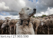"""Купить «Maremma Sheepdog  wearing traditional anti-wolf spiked collar, locally known as """"vreccale"""". Gran Sasso National Park, Abruzzo, Italy, June.», фото № 27903590, снято 26 апреля 2018 г. (c) Nature Picture Library / Фотобанк Лори"""