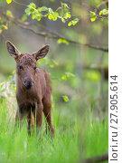 Купить «Baby moose in the forest », фото № 27905614, снято 22 октября 2018 г. (c) PantherMedia / Фотобанк Лори