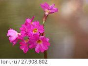 Купить «macro primula rosea sumpfprimel sumpfglockenprimel primula rosea», фото № 27908802, снято 19 апреля 2019 г. (c) PantherMedia / Фотобанк Лори
