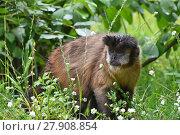 Купить «Brown tufted capuchin monkey male in green grass», фото № 27908854, снято 20 июля 2019 г. (c) PantherMedia / Фотобанк Лори
