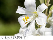 Купить «Flowers of white Lilium candidum blooming in the garden», фото № 27909114, снято 26 марта 2019 г. (c) PantherMedia / Фотобанк Лори