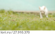 Купить «The white asian and thin kitten runs on a grass. Slow motion.», видеоролик № 27910370, снято 12 февраля 2018 г. (c) Mikhail Davidovich / Фотобанк Лори