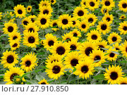 Купить «sunflower field», фото № 27910850, снято 23 марта 2019 г. (c) PantherMedia / Фотобанк Лори
