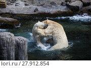 Купить «two juvenile respectively 500kg heavy polar bears at play fighting in hannover adventure zoo», фото № 27912854, снято 23 марта 2019 г. (c) PantherMedia / Фотобанк Лори