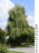Купить «willow,weeping willow,tree,leaves,old tree,village square,stadlkirchen,upper austria», фото № 27912954, снято 18 марта 2018 г. (c) PantherMedia / Фотобанк Лори