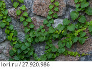 Купить «Green ivy liana climbs on brick wall-  background», фото № 27920986, снято 21 апреля 2019 г. (c) PantherMedia / Фотобанк Лори