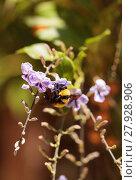 Купить «Black and yellow Western Bumble bee Bombus occidentalis», фото № 27928906, снято 20 апреля 2018 г. (c) PantherMedia / Фотобанк Лори
