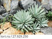 Купить «Agave Plant, Parryi», фото № 27929250, снято 17 октября 2018 г. (c) PantherMedia / Фотобанк Лори