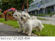 Купить «two maltese dogs go walkies», фото № 27929454, снято 27 марта 2019 г. (c) PantherMedia / Фотобанк Лори
