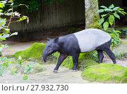 Купить «Тапир. Malayan tapir.», фото № 27932730, снято 20 января 2018 г. (c) Галина Савина / Фотобанк Лори
