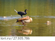 Купить «cormorant and nile goose on the river», фото № 27935786, снято 23 февраля 2019 г. (c) PantherMedia / Фотобанк Лори