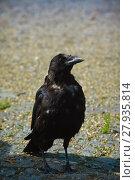 Купить «crow in the moult», фото № 27935814, снято 25 мая 2019 г. (c) PantherMedia / Фотобанк Лори