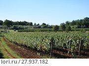 Купить «grapes,grapes,berries,wine,white wine,red wine,vines,tendrils», фото № 27937182, снято 16 октября 2018 г. (c) PantherMedia / Фотобанк Лори