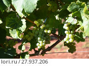 Купить «grapes,grapes,berries,wine,white wine,red wine,vines,tendrils», фото № 27937206, снято 22 января 2019 г. (c) PantherMedia / Фотобанк Лори