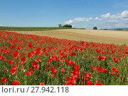 Купить «poppy field in the south palatinate», фото № 27942118, снято 21 июня 2018 г. (c) PantherMedia / Фотобанк Лори