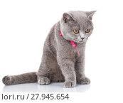 Купить «grey Scottish Fold cat with pink ribbon sitting on white, look down», фото № 27945654, снято 22 февраля 2018 г. (c) PantherMedia / Фотобанк Лори