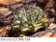 Купить «melocactus turk cap cactus», фото № 27946154, снято 19 февраля 2018 г. (c) PantherMedia / Фотобанк Лори