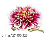 Купить «Single red flower of aster isolated on white background, close up», фото № 27950326, снято 22 октября 2018 г. (c) PantherMedia / Фотобанк Лори