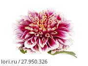Купить «Single red flower of aster isolated on white background, close up», фото № 27950326, снято 15 августа 2018 г. (c) PantherMedia / Фотобанк Лори