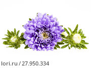 Купить «Single violet flower of aster isolated on white background», фото № 27950334, снято 22 октября 2018 г. (c) PantherMedia / Фотобанк Лори
