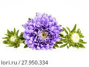 Купить «Single violet flower of aster isolated on white background», фото № 27950334, снято 15 августа 2018 г. (c) PantherMedia / Фотобанк Лори