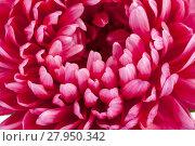 Купить «Single flower of aster with delicate petals, close up.», фото № 27950342, снято 18 января 2019 г. (c) PantherMedia / Фотобанк Лори