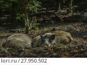 Купить «wild boar in the undergrowth», фото № 27950502, снято 15 января 2019 г. (c) PantherMedia / Фотобанк Лори