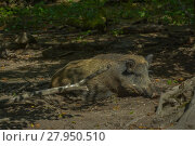 Купить «wild boar in the undergrowth», фото № 27950510, снято 16 января 2019 г. (c) PantherMedia / Фотобанк Лори