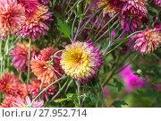 Купить «Садовые хризантемы осенью», фото № 27952714, снято 28 сентября 2014 г. (c) Ольга Сейфутдинова / Фотобанк Лори
