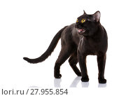 Купить «black cat with bright yellow eyes and an open mouth on a white background.», фото № 27955854, снято 18 февраля 2019 г. (c) PantherMedia / Фотобанк Лори