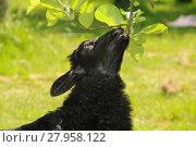 Купить «sheep nibbling on a tree branch», фото № 27958122, снято 23 апреля 2019 г. (c) PantherMedia / Фотобанк Лори