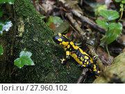 Купить «fire salamander in the woods in damp undergrowth 1», фото № 27960102, снято 16 января 2019 г. (c) PantherMedia / Фотобанк Лори