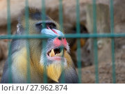 Купить «Portrait of a mandrill monkey in captivity », фото № 27962874, снято 27 мая 2019 г. (c) PantherMedia / Фотобанк Лори