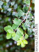 Купить «rain drops on green leaves of hawthorn shrub», фото № 27965578, снято 25 мая 2019 г. (c) PantherMedia / Фотобанк Лори