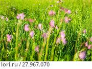 Купить «Ragged Robin (Lychnis flos-cuculi) flowers», фото № 27967070, снято 17 декабря 2018 г. (c) PantherMedia / Фотобанк Лори