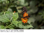 Купить «golden longwing on flower», фото № 27976090, снято 17 июня 2019 г. (c) PantherMedia / Фотобанк Лори