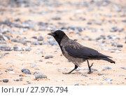 Купить «carrion crow on the beach in Helgoland», фото № 27976794, снято 16 июня 2019 г. (c) PantherMedia / Фотобанк Лори