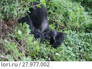 Купить «Wild Gorilla animal Rwanda Africa tropical Forest», фото № 27977002, снято 11 декабря 2018 г. (c) PantherMedia / Фотобанк Лори