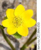 Купить «Yellow marsh marigold flower blossom», фото № 27984650, снято 23 июля 2019 г. (c) PantherMedia / Фотобанк Лори